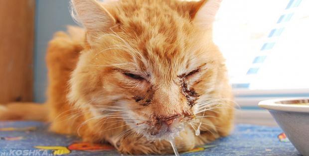 Кошка, больная микоплазмозом