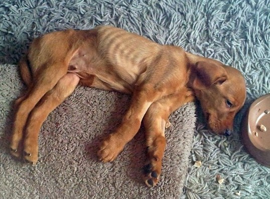 Собака, истощенная болезнью печени