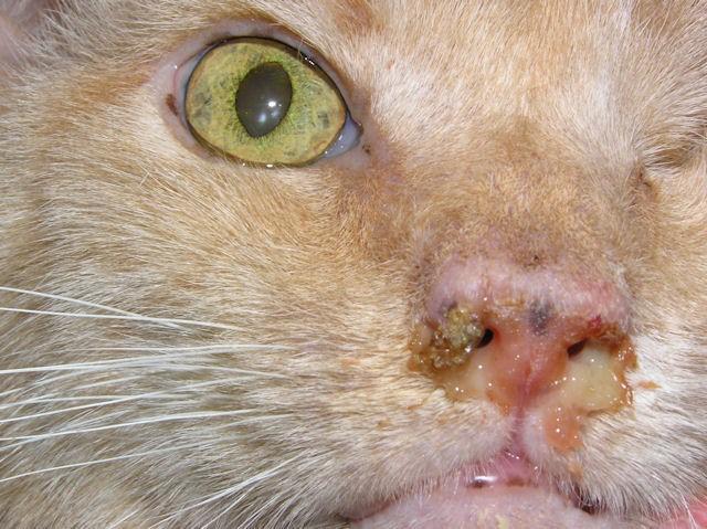 Симптомы герпеса у кошек
