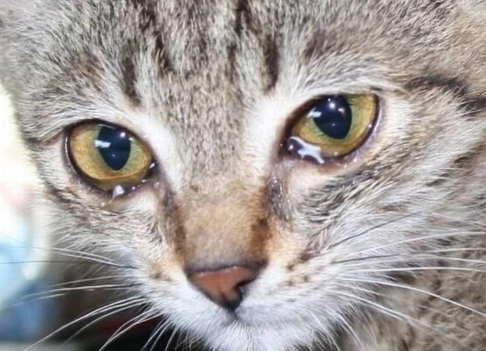 Конъюктивит у кошки