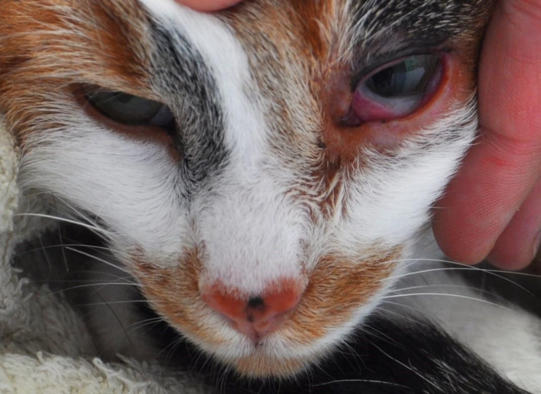Насморк у котенка лечение в домашних условиях 54