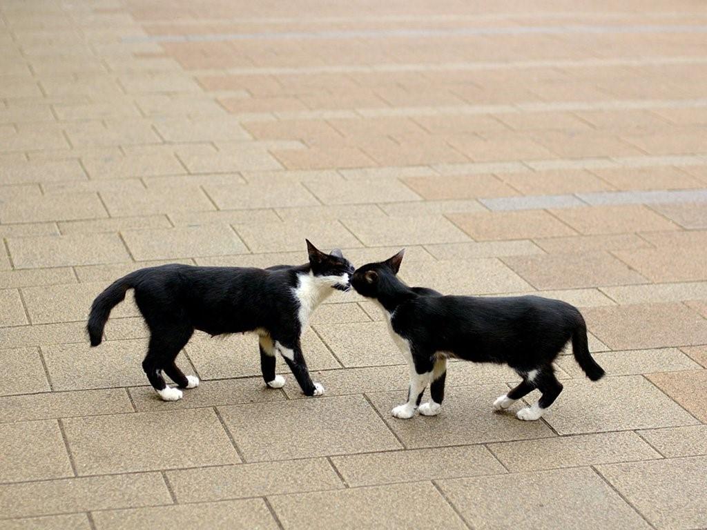 Поцелуй кошек