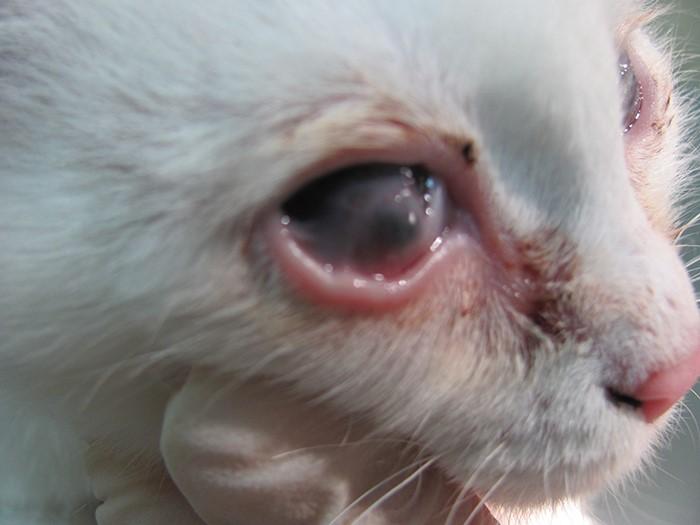 Гнойный конъюктивит у кошки