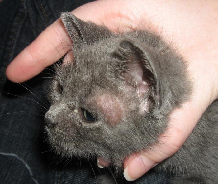Кошка, больная трихофитией