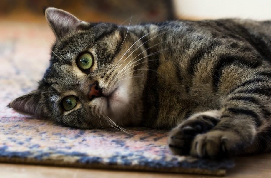 Кошка, больная короновирусом