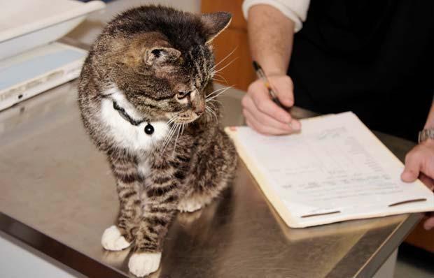 Кошка, которую лечат от вируса иммунодефицита
