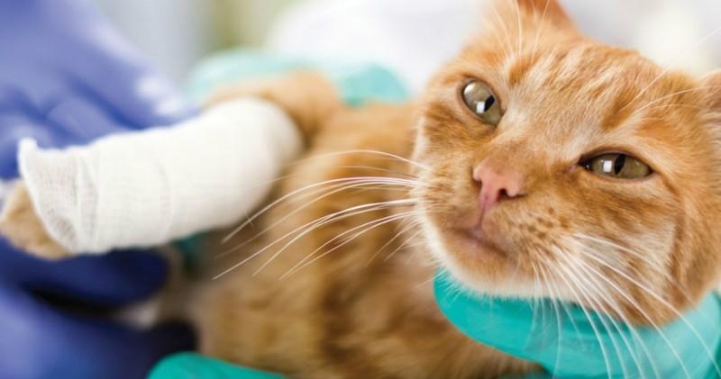 Коту перебинтовали рану