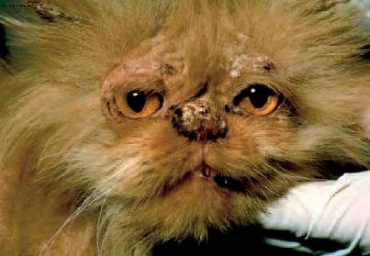 Кот, больной лишаем