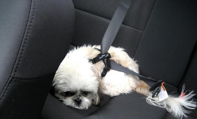 Собаку укачало в машине