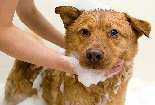 Собаку моют шампунем от блох