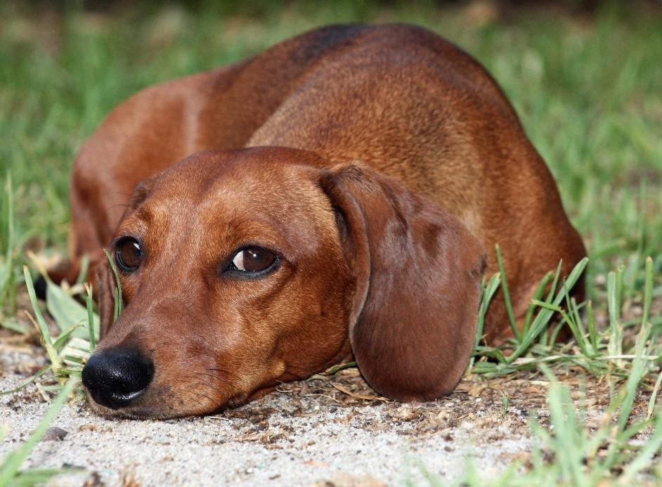 Собака с циститом