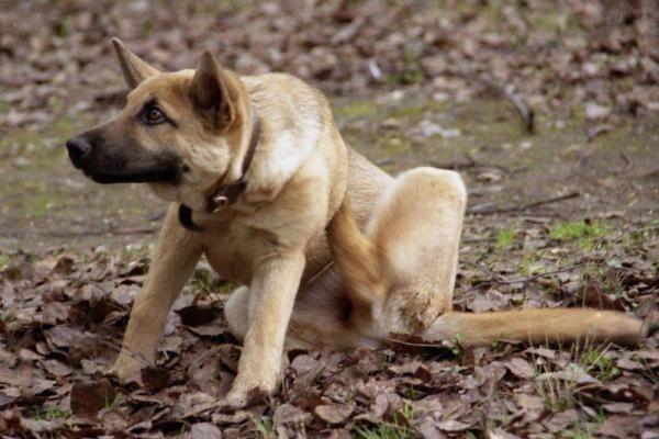 Собака чешется от блох