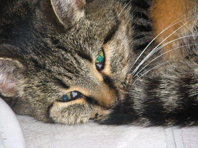 Кошка, больная токсоплазмозом