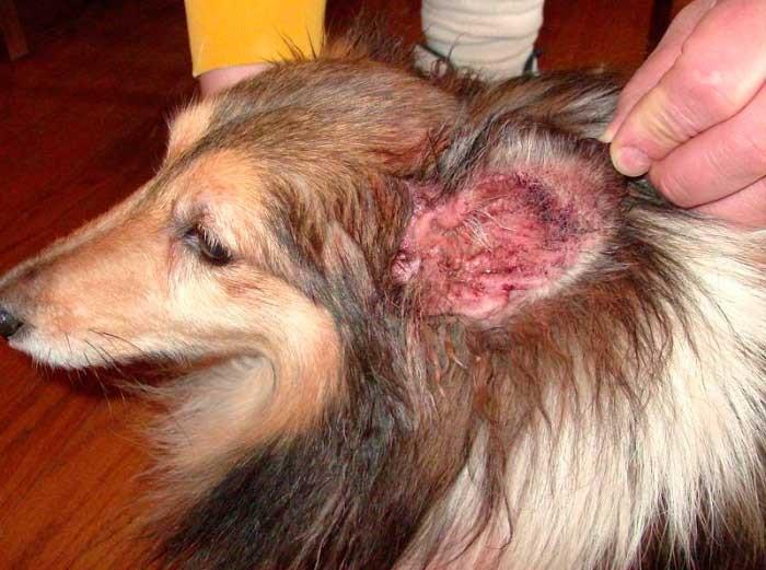Гноятся уши у собак в домашних условиях