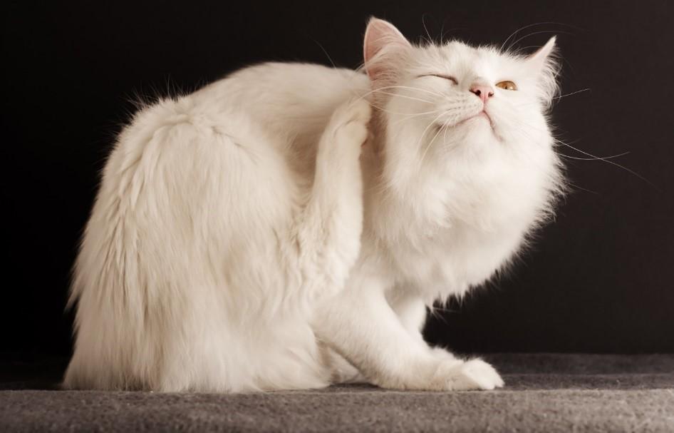 Кошка чешется