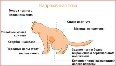 Кровь в моче у котов кастрированных котов