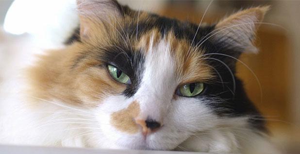 Уставшая кошка