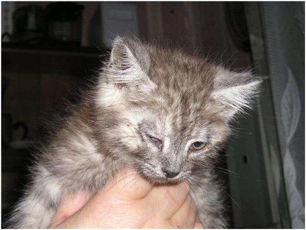 Гноятся глазки у котенка чем лечить в домашних условиях 135