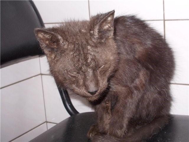 Кот больной вирусным иммунодефицитом
