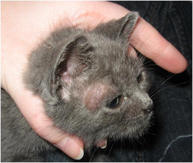 кожные заболевания фото у кошек