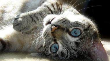 Ложная беременность у кошки