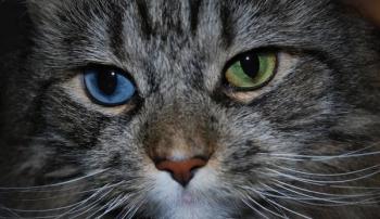 Кошкас глазами разного цвета