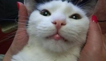 Кошка с опухшей нижней губой