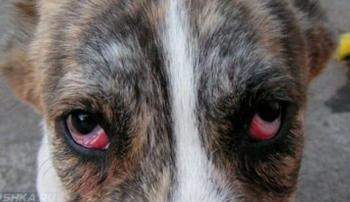 У собаки конъюктивит из-за хламидиоза
