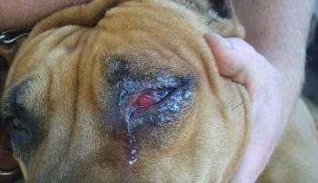 У собаки течет глаз