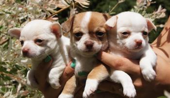Коронавирус опасен для щенков