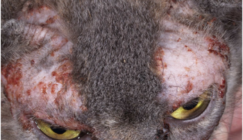 Аллергия у кошки