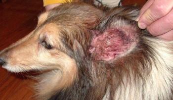 Вторичное обсеменение стафилококком при паразитарном или аллергическом отите