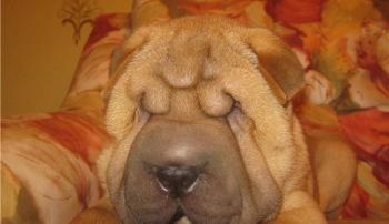 Заворот век у собаки