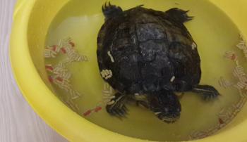 Черепаха в отсаднике