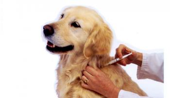 Собаку прививают от чумы