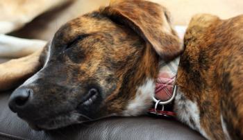Собака, больная гепатитом