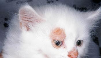 Грибок у котенка