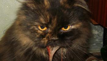 Симптомы гепатита у кошки