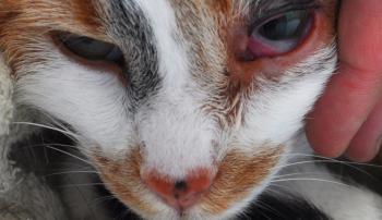Проблемы с глазами у кошки