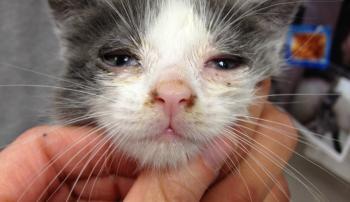 Кот, больной ринотрахеитом