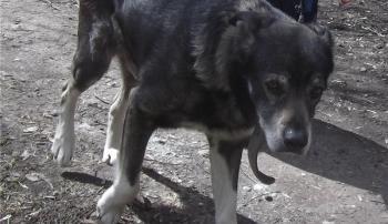 Собака с простатитом