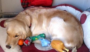 Собака с игрушками, которые напоминают щенков