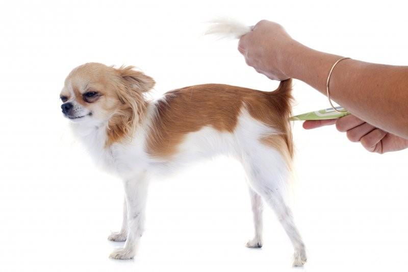 Измерение температуры тела собаке